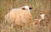 Mallorcan Lamb