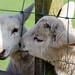 Kissing Lambs