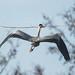 Grey heron & branch