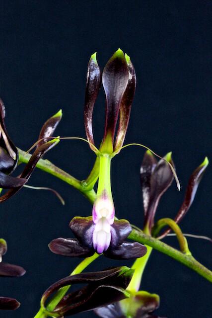 Epidendrum-melanoporphyreum 17194783732_12febfd344_z