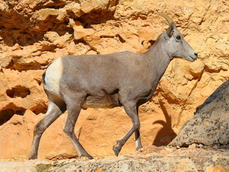 IMG_2439 Bighorn Sheep, Grand Canyon National Park