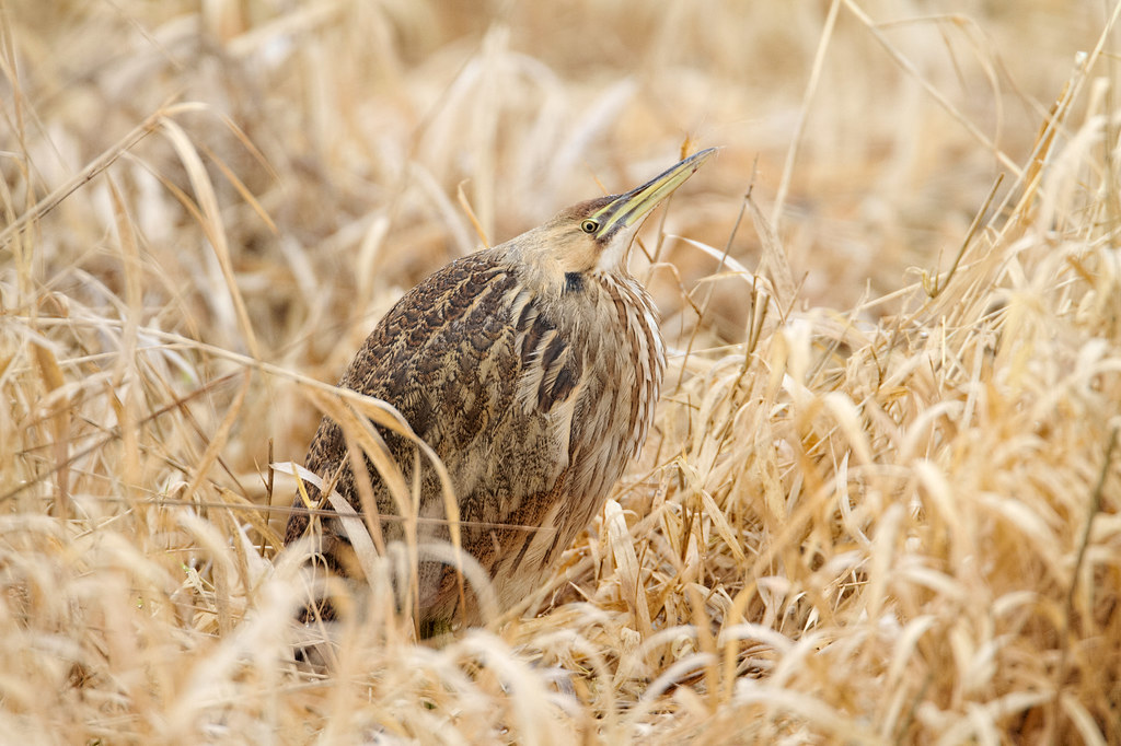 An American bittern sits in dried grasses
