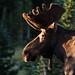 Bull Moose by grady_31