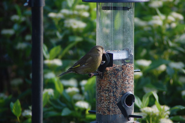 Greenfinch - 1