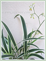 Dianella ensifolia 'White Variegated' (Variegated Flax Lily, Umbrella Dracaena), March 12 2015