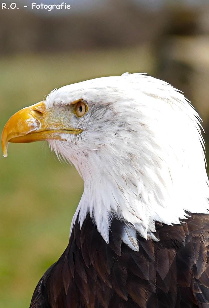 Weißkopfseeadler / Eagle