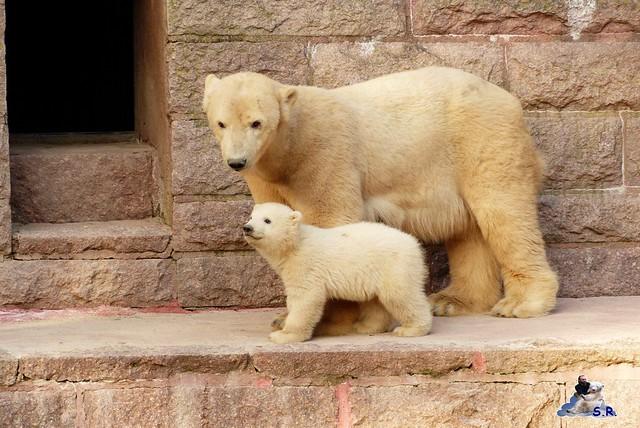 Zoo Rostock Eisbären 28.03.2015  144