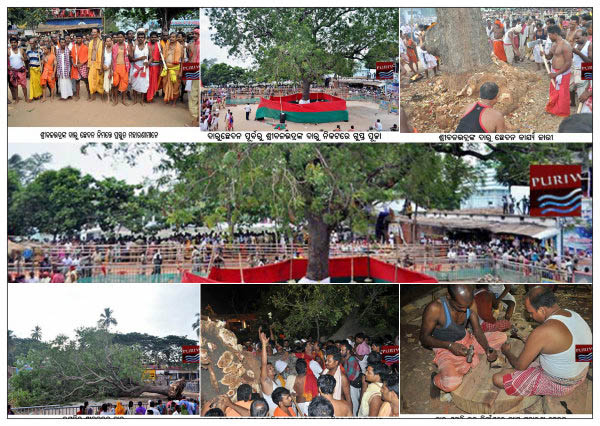 Photo :: Daru ( Log ) of Lord Balavadra Begins for Chaupata nabakalebara
