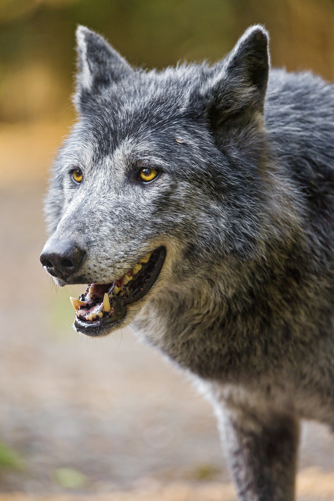 Semi profile of a gray wolf with open mouth