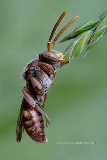 Nap Time (Cuckoo Bee)