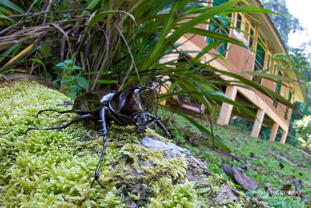 Rhino beetle (Dynastinae) - DSC_5424