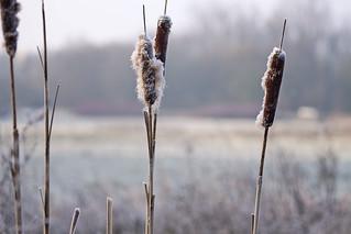 _MG_2238 Morning Light Grass
