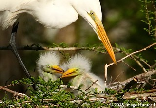 Great Egret Mom With The Next Generation