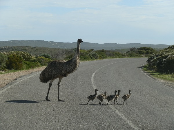 Emu and chicks at Innes National Park