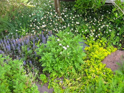 Camomile, flanked by ajuga and Santa Barbara daisies