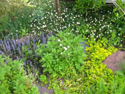 Camomile, flanked by ajuga and Santa Barbara daisies