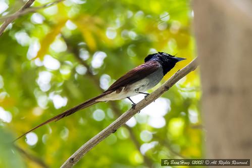 nikon singapore tamron flycatcher migratorybird japaneseparadiseflycatcher terpsiphoneatrocaudata boonhong singaporebird nikond7100 tamron150600mm