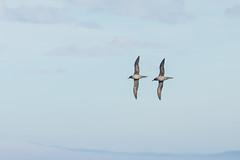 Light Mantled Sooty Albatrosses