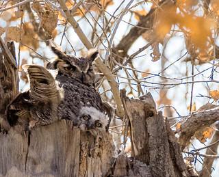 Albuquerque Great Horned Owl nest #3