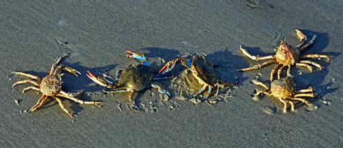 Spider and Blue Crabs DSC_0929