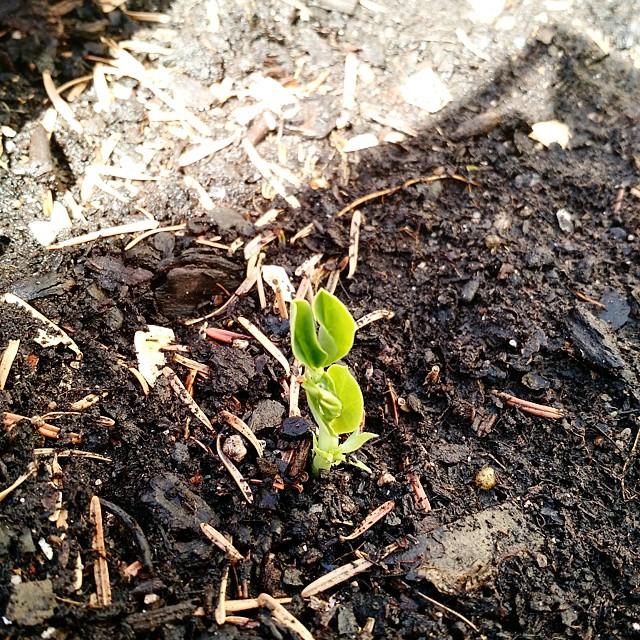 Sugar snap peas coming up!