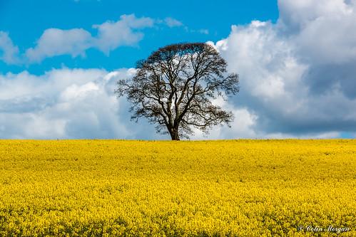 bridge sky tree northumberland fields stannington oilseedrape hortongrange bellasisbridge