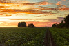 Evening On The Potato Fields