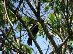 Toucanet koulik (Selenidera piperivora)