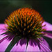 Echinacea in Morning Light by Gene Wilburn