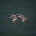 19083-pelicans by oliver.dodd