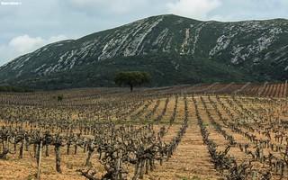 Longest Vineyard