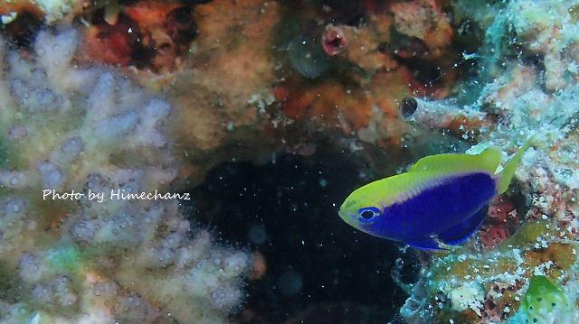 水深12mに現れたセナキルリスズメダイyg