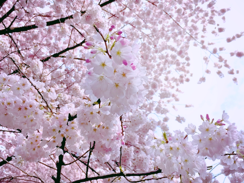 Akebono Cherry Blossoms [Flickr]