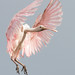 pastel plumage by William Miller 21