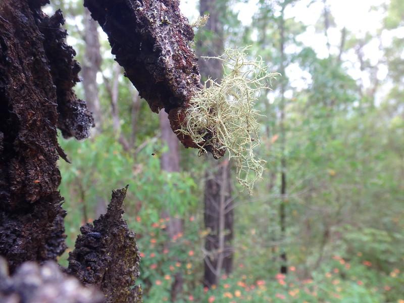 Moss on Ironbark