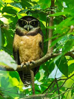 spectacled owl,(Pulsatrix perspicillata)  lechuzón de anteojos  christian sanchez photography  costa rica guapiles