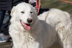 dog breed, animal, polish tatra sheepdog, dog, pet, maremma sheepdog, slovak cuvac, livestock guardian dog, golden retriever, carnivoran, great pyrenees,