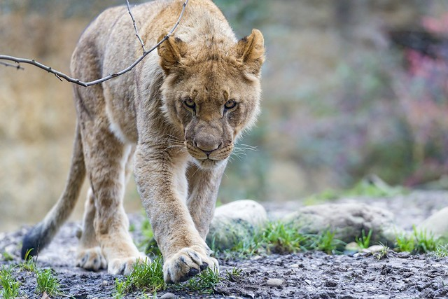 Menacing walking young lion