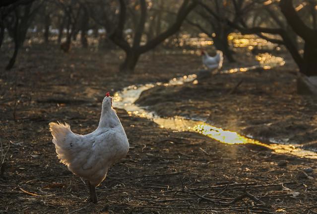 Free range chicken