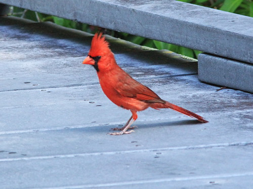 Northern Cardinal 20150407