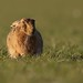 HARE SUNSET by Stephen Durrant / Wildlife