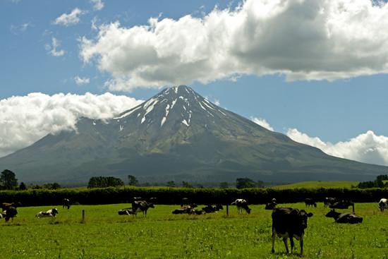 Mt Taranaki cows 21 1 15 K54798
