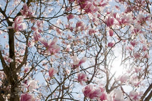 Magnolia Soulangiana + 10