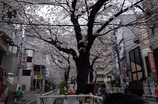 都立大学の桜