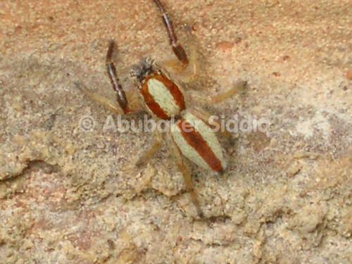 A jumping spider in the gardgen
