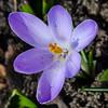 April 1st. First Bloom.