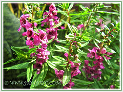 Angelonia angustifolia 'Angelmist Dark Rose' (Narrowleaf Angelon) - Apr 4 2015, at our outer border