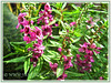 Angelonia angustifolia 'Angelmist Dark Rose' (Summer Snapdragon, Narrowleaf Angelon, Angel Flower, Summer Orchid)