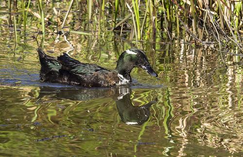 Those Nefyn Ducks-454 (245)
