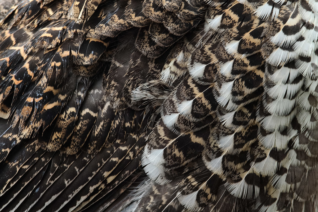 A close-up view of the feathers of a sooty grouse